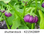 Eggplant. Thai Purple Eggplant...