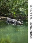 Small photo of American alligator (Alligator mississippiensis) looking at camera.