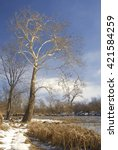 Small photo of A majestic Sycamore (Platanus occidentalis) tree frame the DuPage River in Hammel Woods Forest Preserve in Winter, Will County, Illinois
