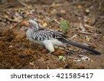 red billed hornbill finding... | Shutterstock . vector #421585417