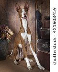 One Year Old Purebred Podenco...