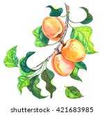 Group Of Apricots With Leaves...