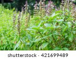 Small photo of Basil (Ocimum sanctum). Closeup of thai holy basil plants holy basil organic vegetable acreage herb of thailand.