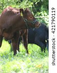 Small photo of Red Dexter Calf