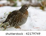 Spruce Grouse in the forest in winter - stock photo