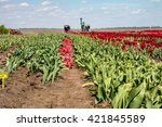 farmers work on tulip field.... | Shutterstock . vector #421845589