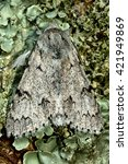 Small photo of The miller moth (Acronicta leporina) from above. British insect in the family Noctuidae, the largest British family moths in the order Lepidoptera