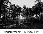 Pine Forest Black And White...