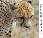 Wild Cheetah Portrait In The...