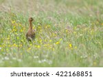 black tailed godwit during... | Shutterstock . vector #422168851