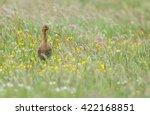 black tailed godwit during... | Shutterstock . vector #422168851