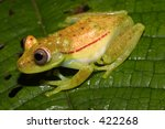 green and yellow frog  ecuador  ... | Shutterstock . vector #422268