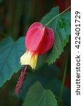 Small photo of Chinese Lantern abutilon red and yellow flower