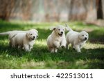 Stock photo little puppys golden retriever running around playing in the summer park 422513011