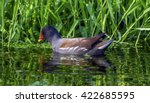 Common Moorhen Or Swamp Chicke...