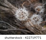 Small photo of Achyrachaena mollis