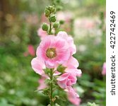 Small photo of beautiful hollyhock flower or althaea flower in garden