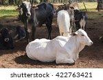 cattle   nelore lying down on... | Shutterstock . vector #422763421