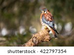American kestrel on a branch