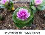 Colorful Blooming Cabbages In ...