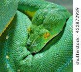 Green Tree Python Morelia...
