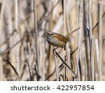 Swamp Sparrow Perched On Reed