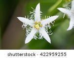 Bogbean  Menyanthes Trifoliata...