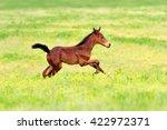 Bay Foal Run Gallop On Spring...