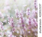white lavender | Shutterstock . vector #423012157