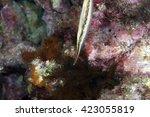 Small photo of Razorfish, Aeoliscus strigatus