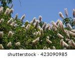 Small photo of California buckeye flowers (Aesculus californica)