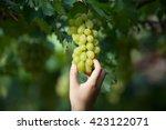 green vineyards  grapes  green... | Shutterstock . vector #423122071
