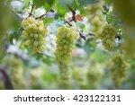 green vineyards  grapes  green... | Shutterstock . vector #423122131