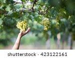 green vineyards  grapes  green... | Shutterstock . vector #423122161