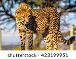 cheetah leopard  in the... | Shutterstock . vector #423199951