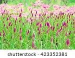 Zephyranthes  Rainflower ...