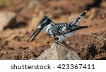 pied kingfisher standing on... | Shutterstock . vector #423367411