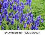 Grape Hyacinth Flowers As Nice...