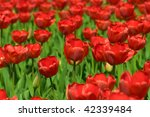 bunch of red tulips flowers in... | Shutterstock . vector #42339484