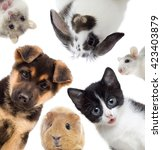 Stock photo puppy and kitten and guinea pig set of pets 423403879
