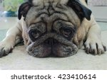 Soft Focus Face Pug Dog