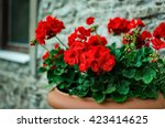 Red Garden Geranium Flowers In...