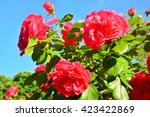 Stock photo flowering red roses plant at spring garden 423422869