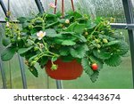 Blooming Remontant Strawberries ...