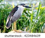 night heron portrait | Shutterstock . vector #423484639
