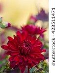 Flower Of Red Chrysanthemums O...