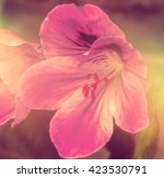 Pink Inca Lilly South Africa  ...