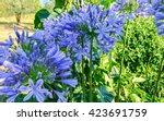 Flower Blue Agapanthus In...