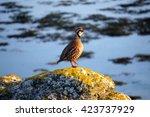 A Partridge Bird On A Rock By...