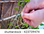 person securing a climbing... | Shutterstock . vector #423739474